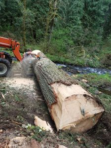 The cabin owner was going to have this Fir tree milled into lumber to use for repairs on his Steiner cabin.