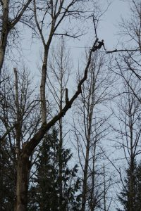 Simon removing large cottonwood tree at Metzler Park for Clackamas County. Click on link below to view video.