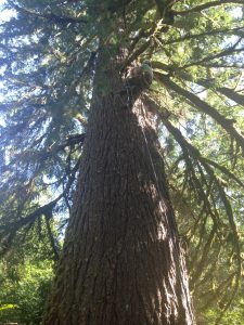 Simon pruning Old Growth Fir tree at home on Salmon River. Beautiful tree!