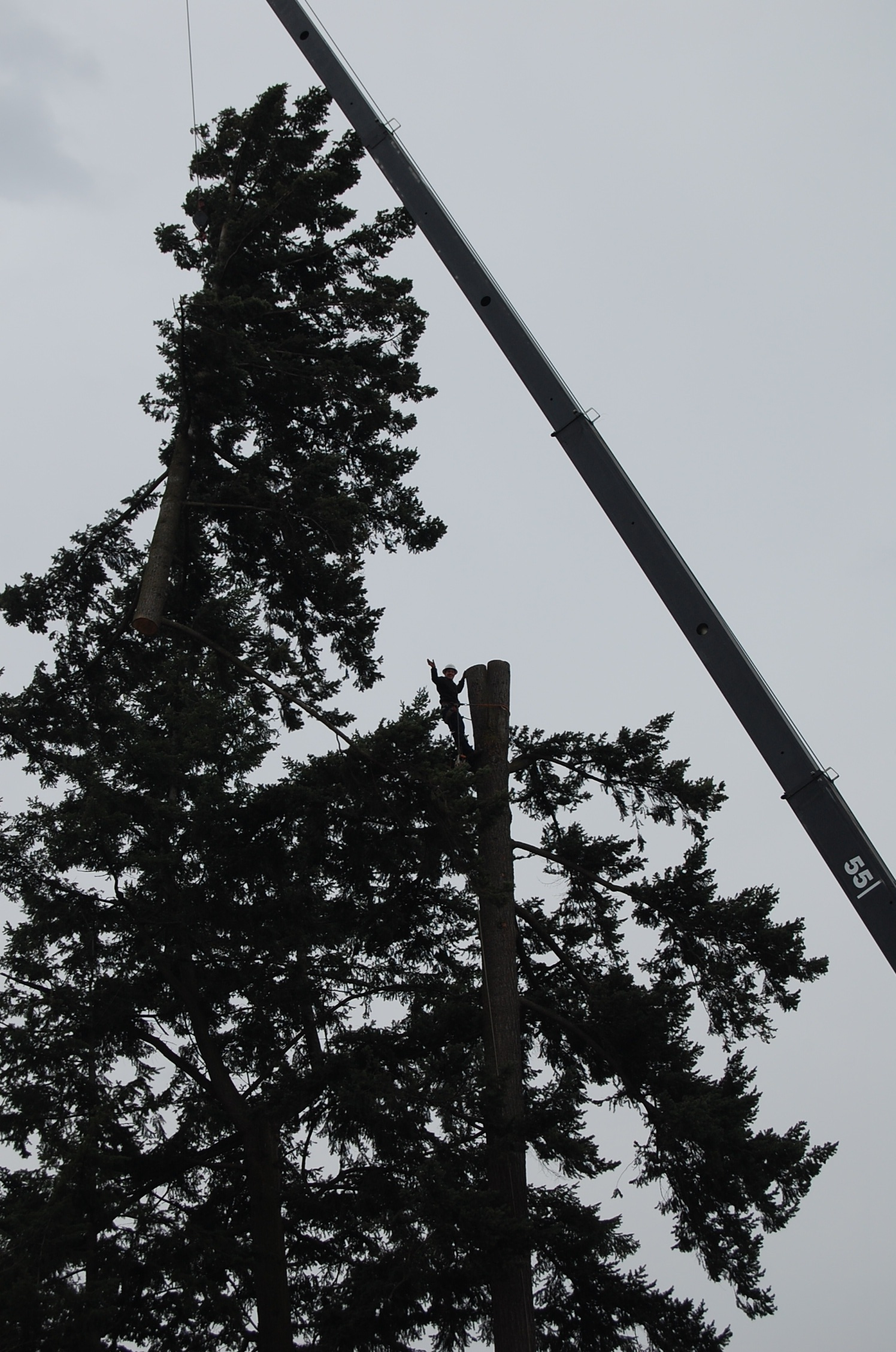 Crane tree removal out of fenced back yard.